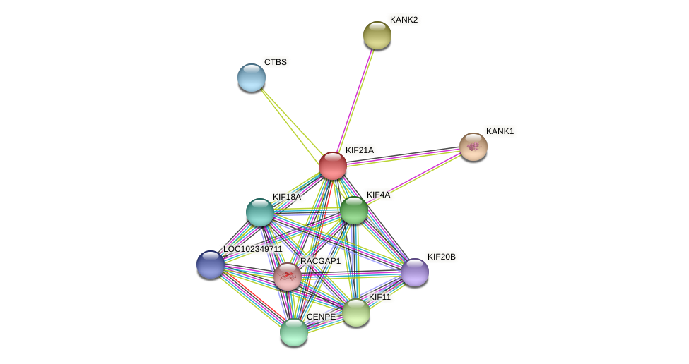 KIF21A protein (Latimeria chalumnae) - STRING interaction network