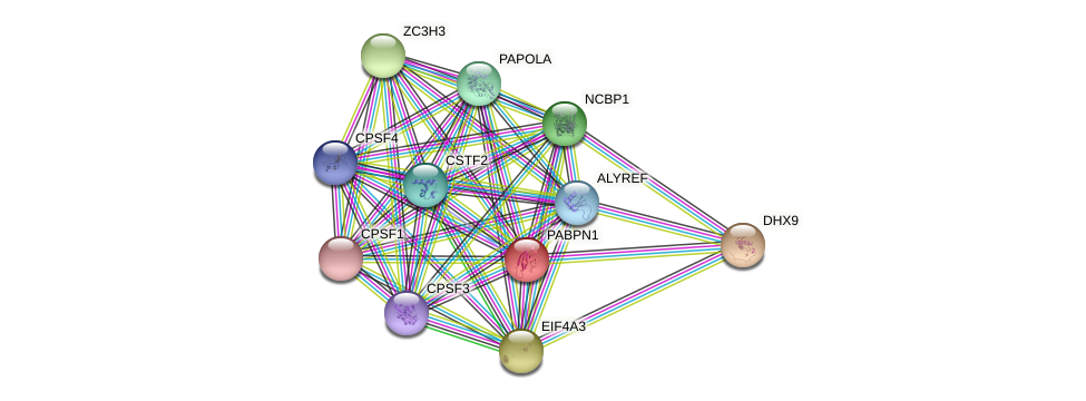 PABPN1 protein (Latimeria chalumnae) - STRING interaction network