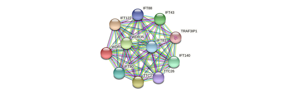 WDR19 protein (Latimeria chalumnae) - STRING interaction network