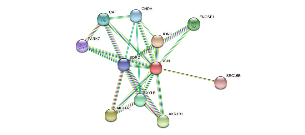 RGN protein (Latimeria chalumnae) - STRING interaction network