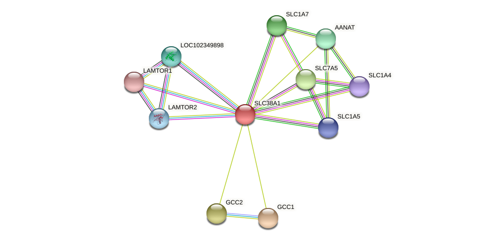 SLC38A1 protein (Latimeria chalumnae) - STRING interaction network