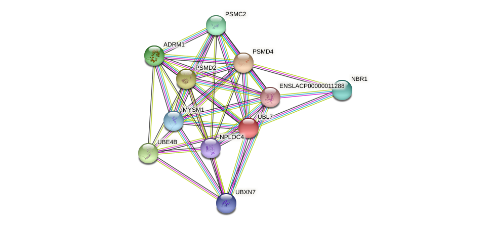 UBL7 protein (Latimeria chalumnae) - STRING interaction network