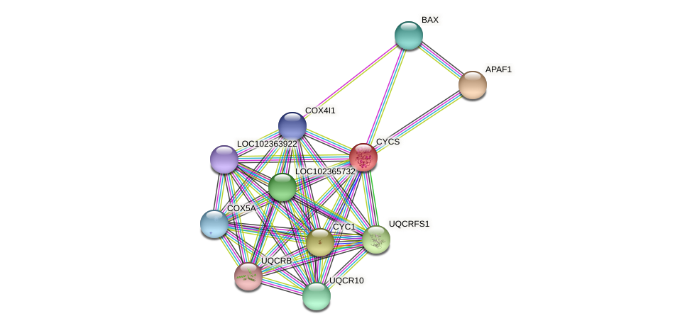 CYCS protein (Latimeria chalumnae) - STRING interaction network