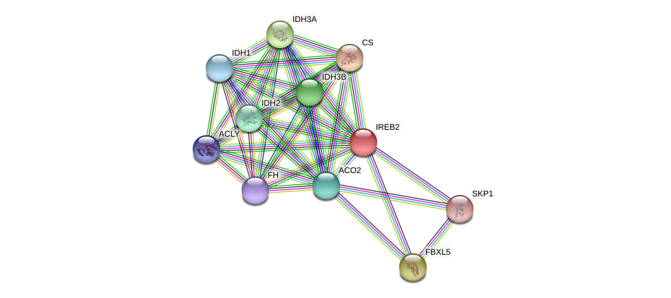 IREB2 protein (Latimeria chalumnae) - STRING interaction network