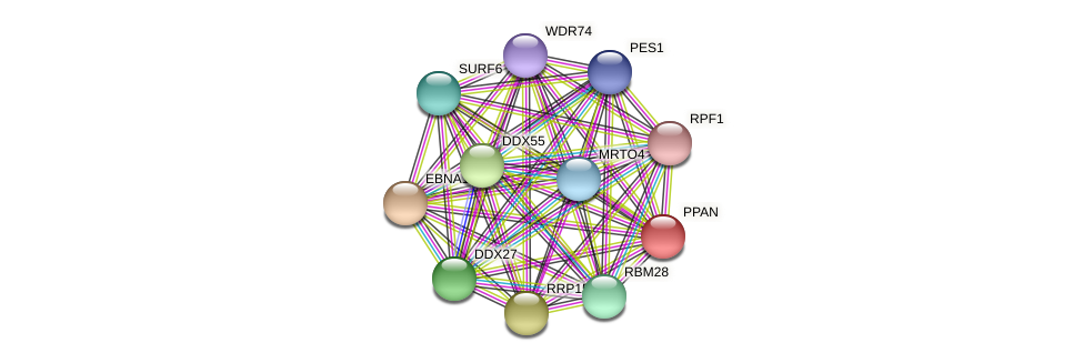 PPAN protein (Latimeria chalumnae) - STRING interaction network