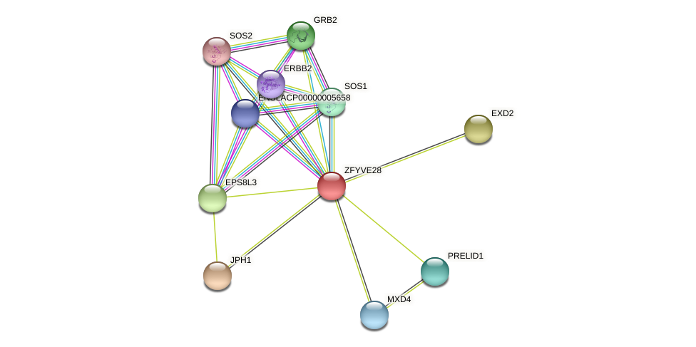 ZFYVE28 protein (Latimeria chalumnae) - STRING interaction network