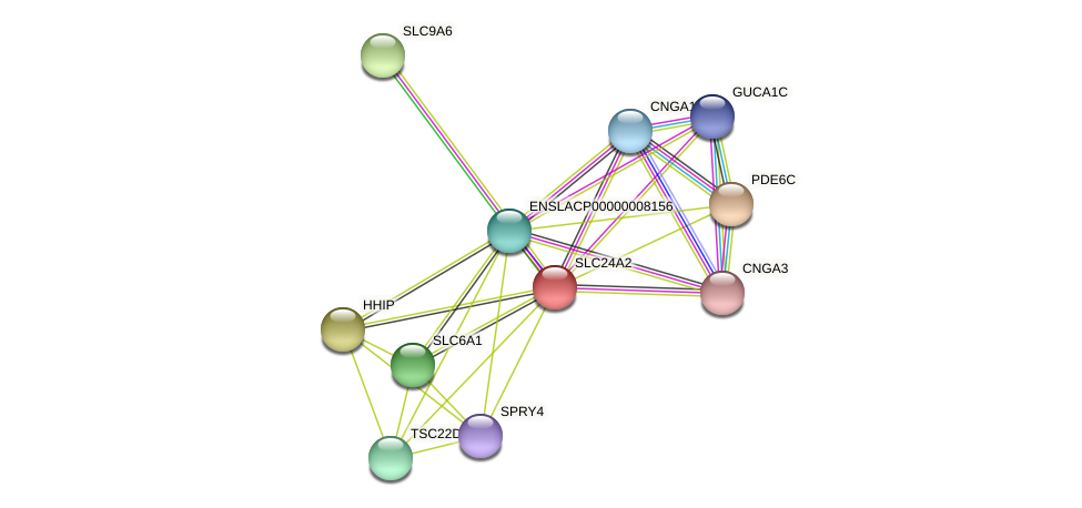 SLC24A2 protein (Latimeria chalumnae) - STRING interaction network