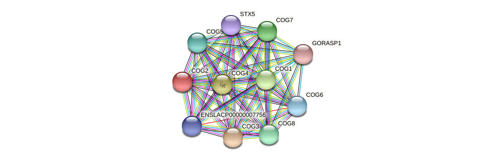 COG2 protein (Latimeria chalumnae) - STRING interaction network