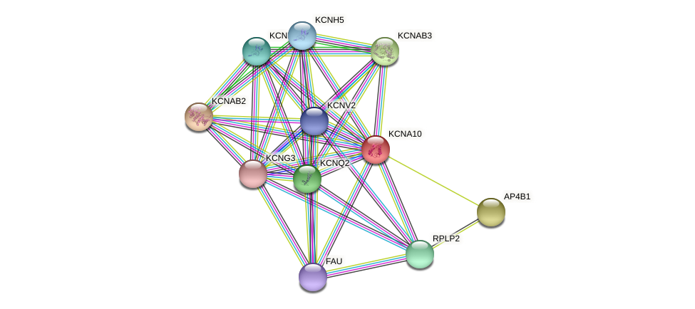 KCNA10 protein (Latimeria chalumnae) - STRING interaction network