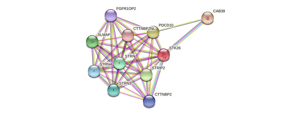 STK26 protein (Latimeria chalumnae) - STRING interaction network