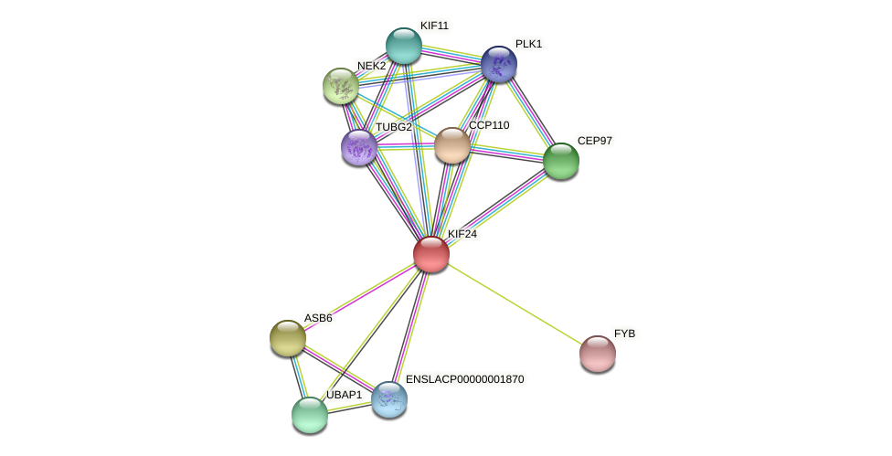 KIF24 protein (Latimeria chalumnae) - STRING interaction network