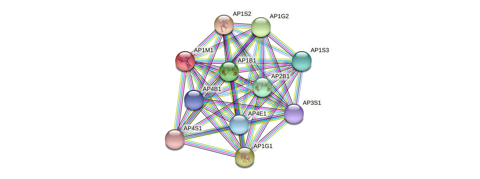 AP1M1 protein (Latimeria chalumnae) - STRING interaction network