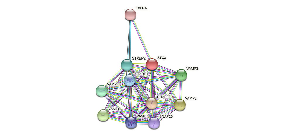 STX3 protein (Latimeria chalumnae) - STRING interaction network