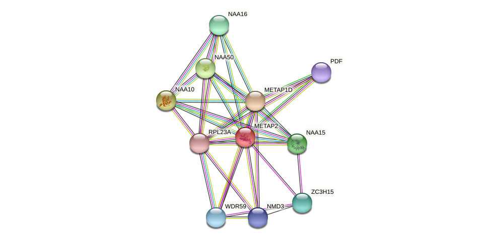METAP2 protein (Latimeria chalumnae) - STRING interaction network