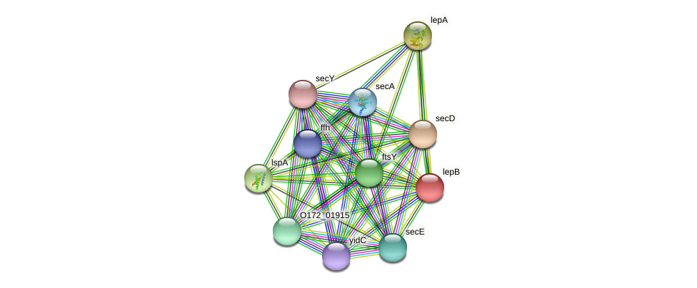 lepB protein (Chlamydia trachomatis) - STRING interaction network