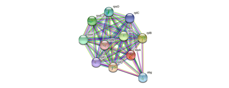 lepA protein (Chlamydia trachomatis) - STRING interaction network