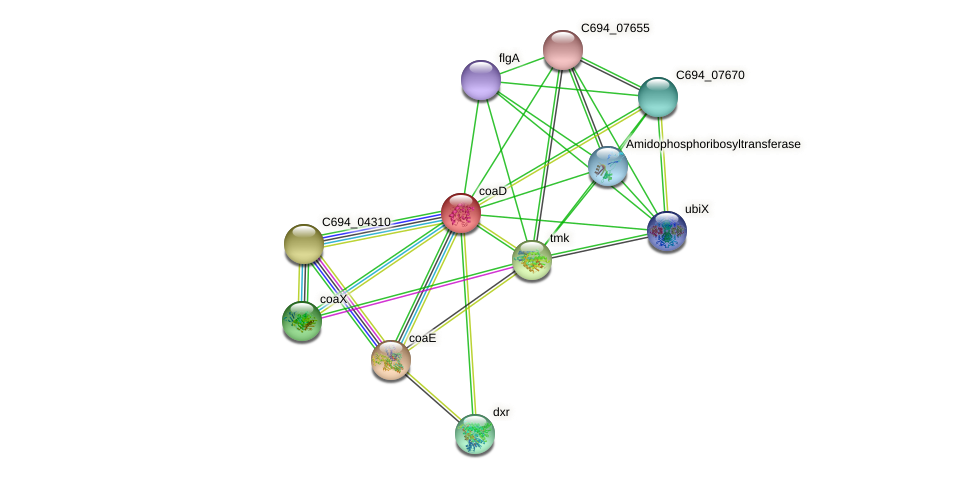 coaD protein (Helicobacter pylori 26695) - STRING interaction network