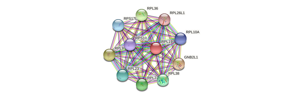 RPL19 protein (Gallus gallus) - STRING interaction network