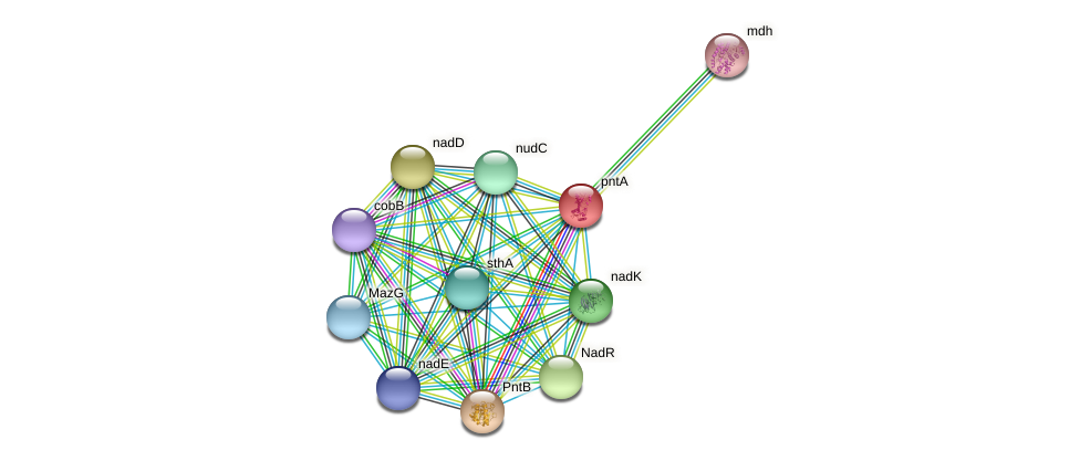 pntA protein (Ewingella americana) - STRING interaction network