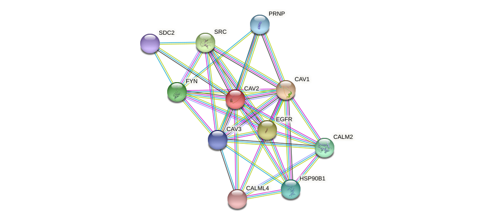 CAV2 protein (Callithrix jacchus) - STRING interaction network