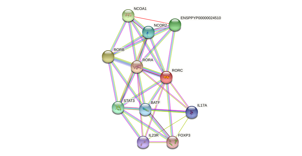RORC protein (Pongo abelii) - STRING interaction network