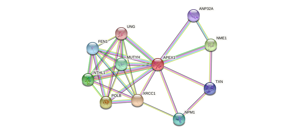 APEX1 protein (human) - STRING interaction network