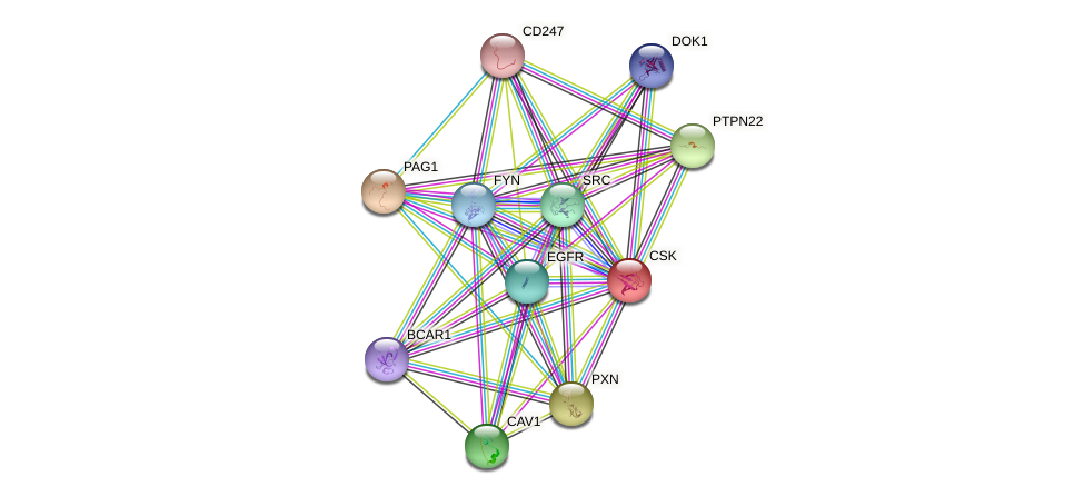 CSK protein (human) - STRING interaction network