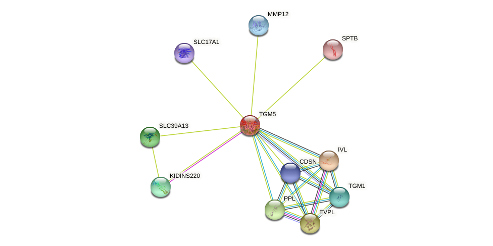 TGM5 protein (human) - STRING interaction network