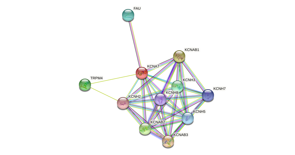 KCNA7 protein (human) - STRING interaction network