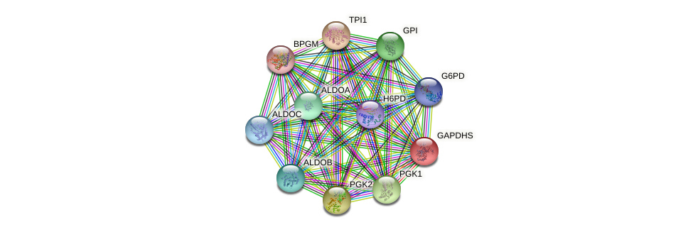 GAPDHS protein (human) - STRING interaction network