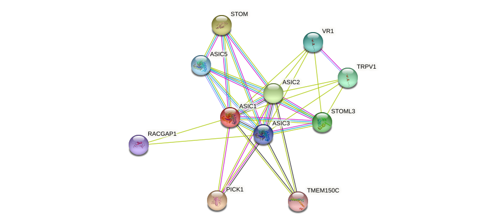ASIC1 protein (human) - STRING interaction network