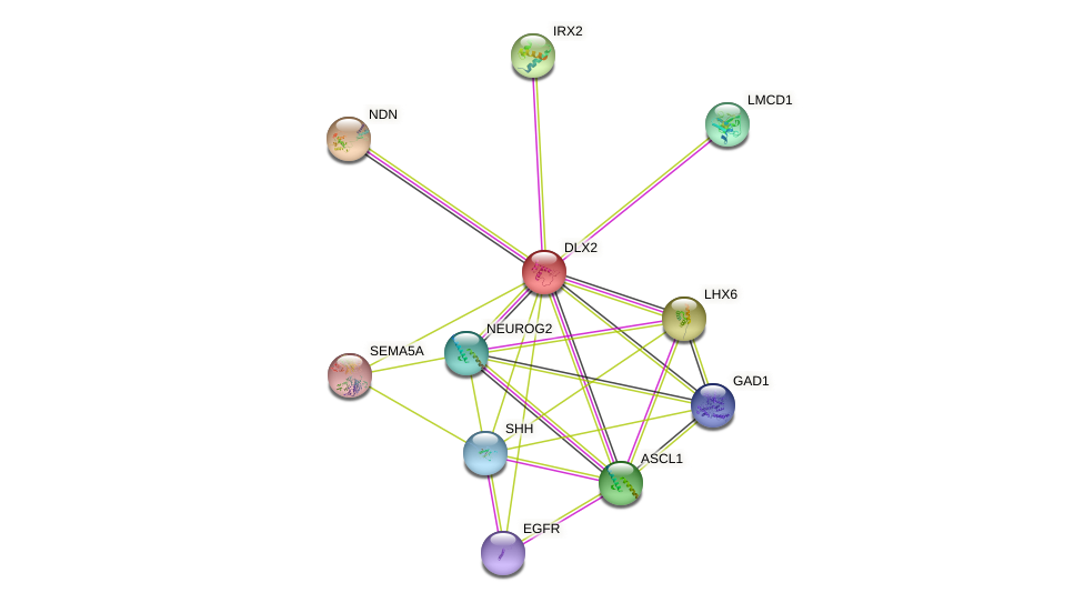 DLX2 protein (human) - STRING interaction network