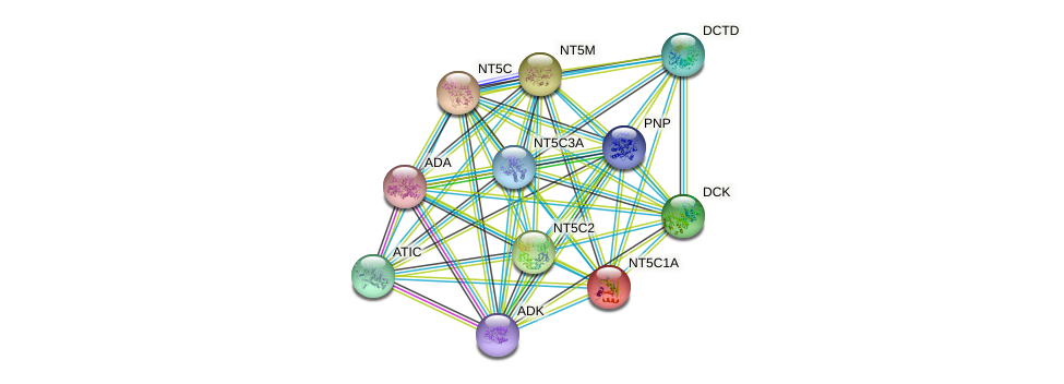 NT5C1A protein (human) - STRING interaction network