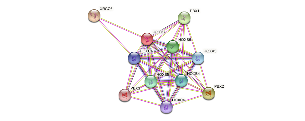 HOXB7 protein (human) - STRING interaction network