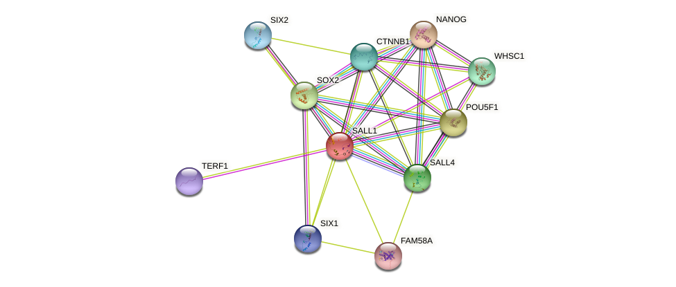 SALL1 protein (human) - STRING interaction network