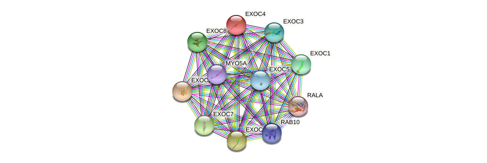 EXOC4 protein (human) - STRING interaction network