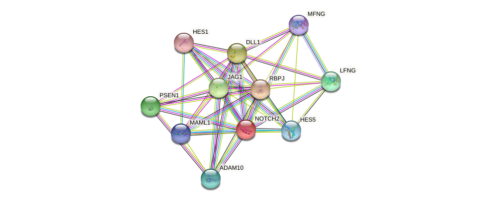 NOTCH2 protein (human) - STRING interaction network