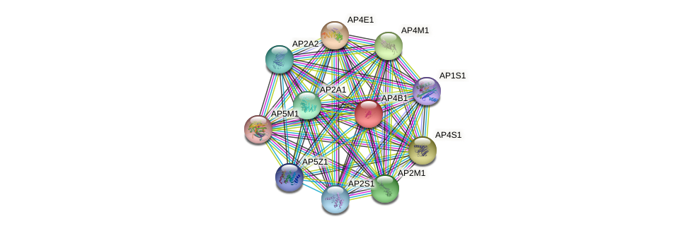 AP4B1 protein (human) - STRING interaction network