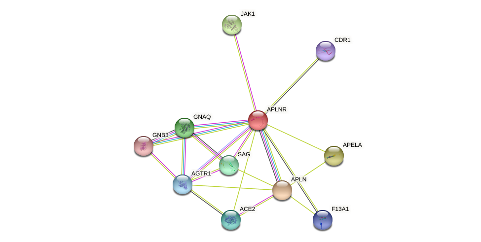 APLNR protein (human) - STRING interaction network