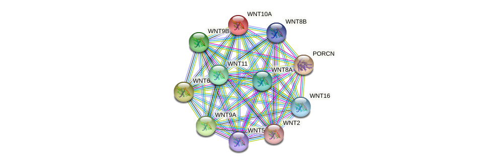 WNT10A protein (human) - STRING interaction network