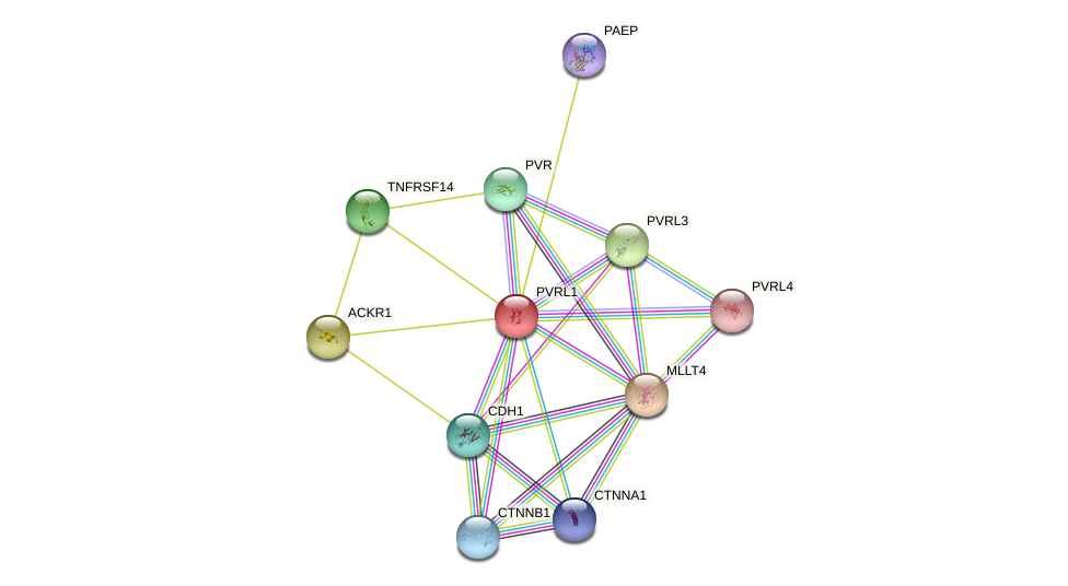 PVRL1 protein (human) - STRING interaction network