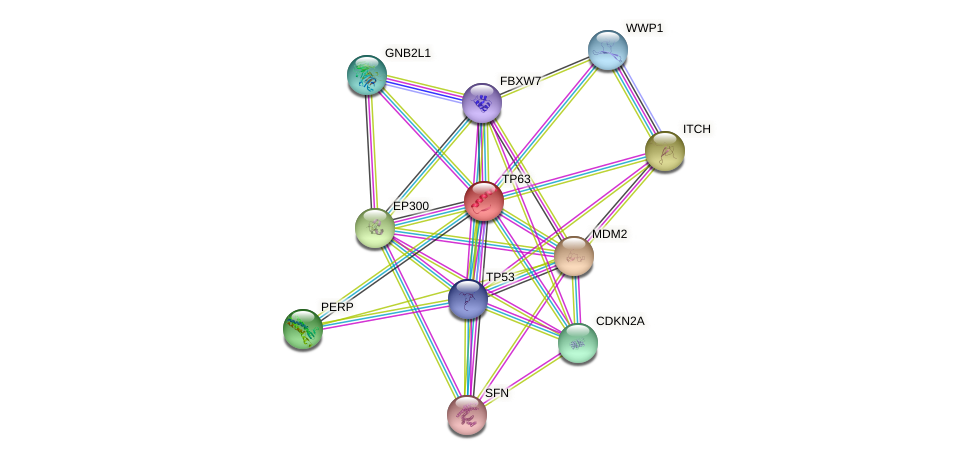 TP63 protein (human) - STRING interaction network
