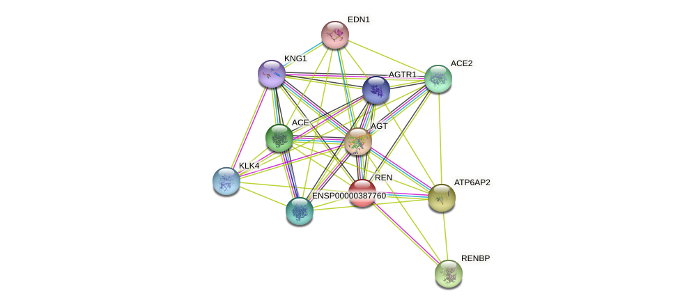 REN protein (human) - STRING interaction network