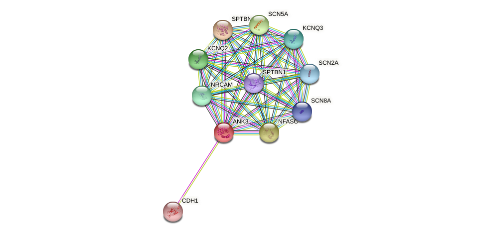 ANK3 protein (human) - STRING interaction network
