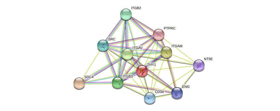 THY1 protein (human) - STRING interaction network