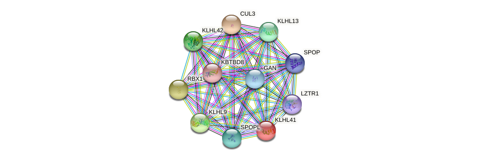 KLHL41 protein (human) - STRING interaction network