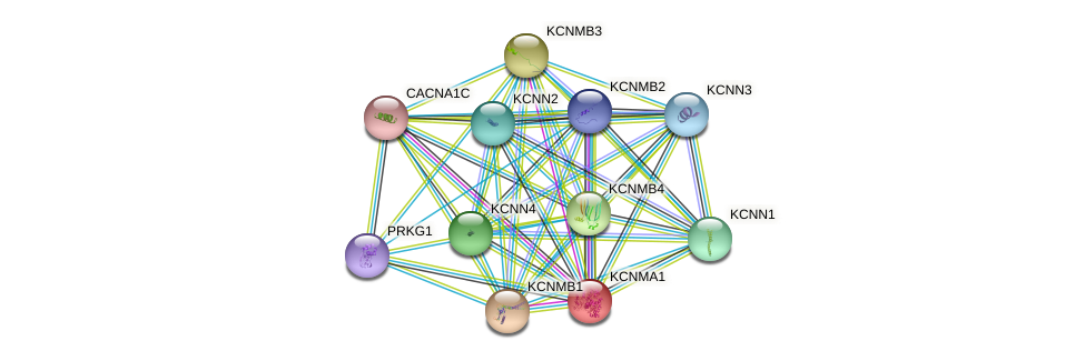 KCNMA1 protein (human) - STRING interaction network