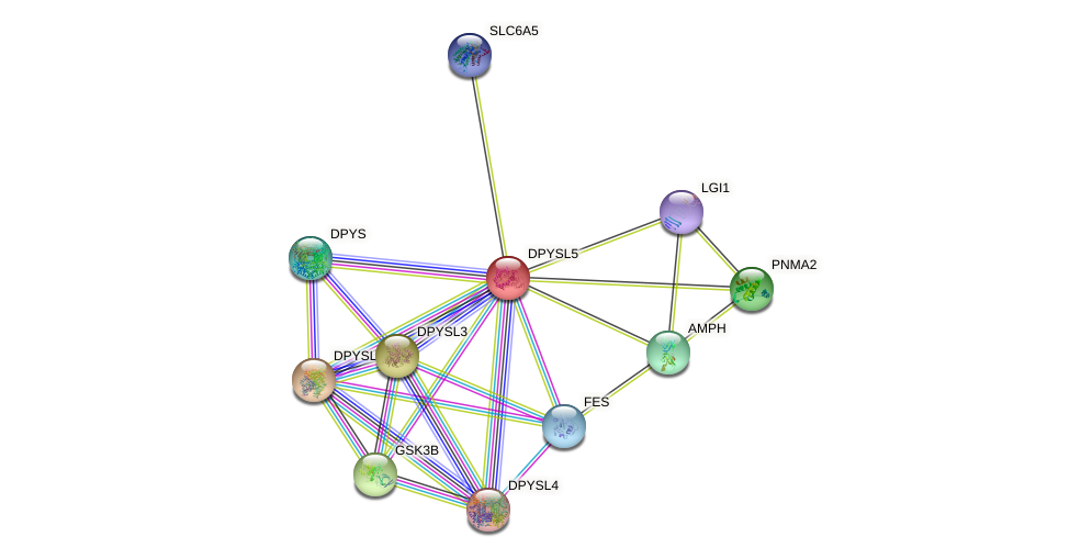 DPYSL5 protein (human) - STRING interaction network