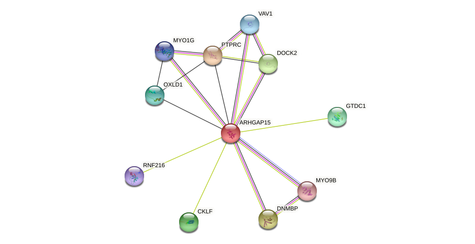 ARHGAP15 protein (human) - STRING interaction network