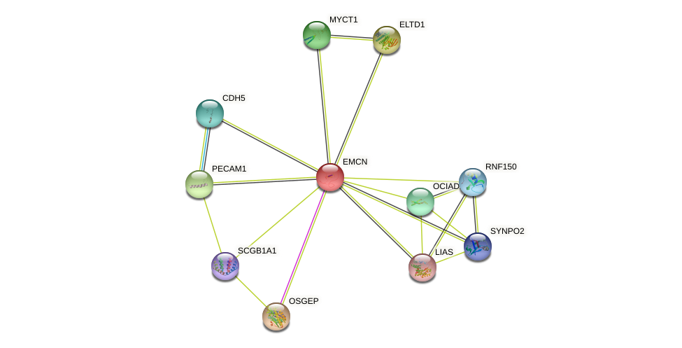 EMCN protein (human) - STRING interaction network